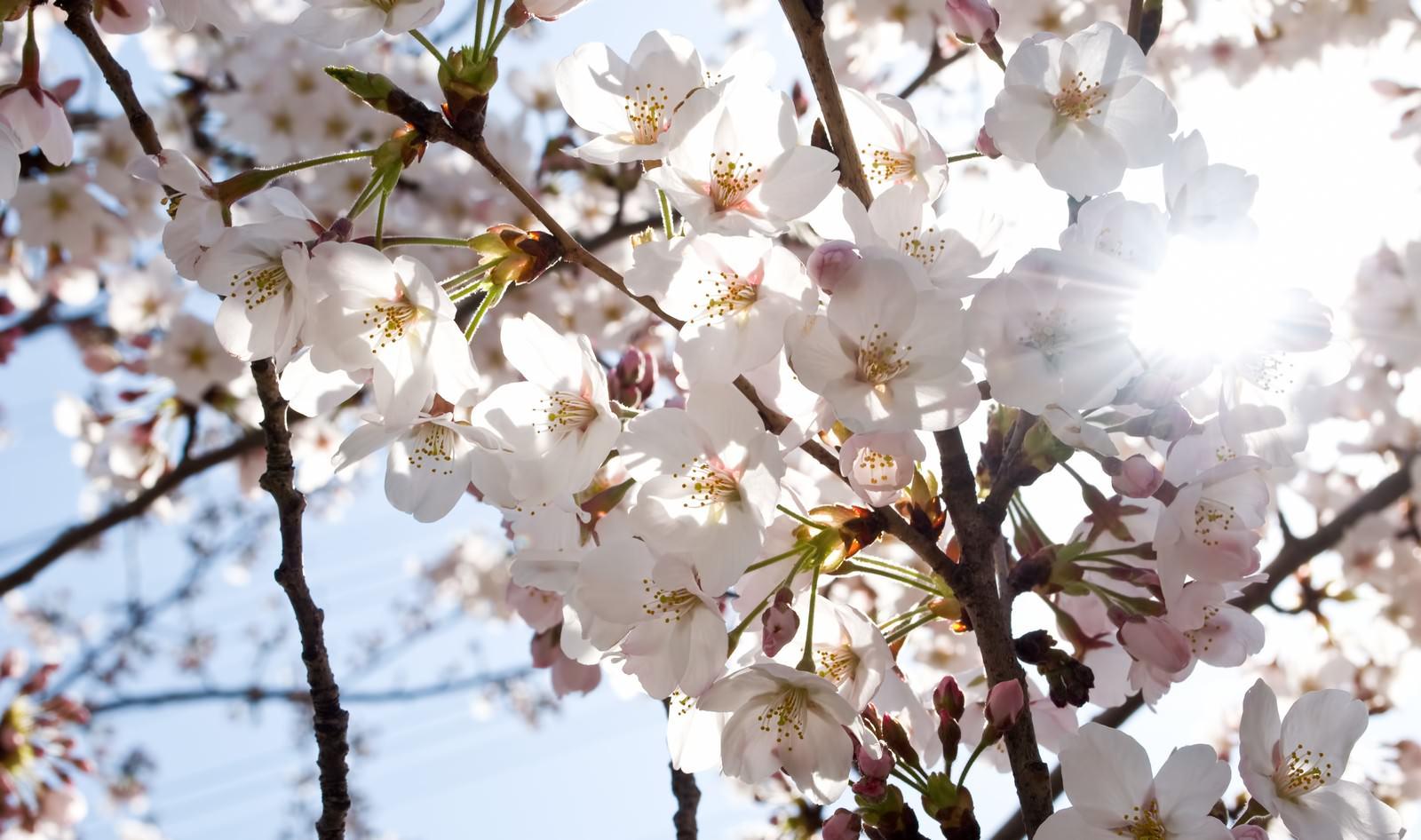 「風にそよぐ(桜)」の写真