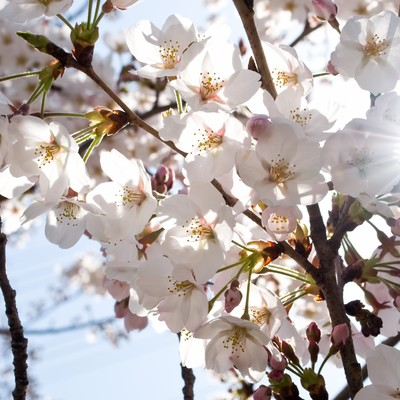 「風にそよぐ(桜)」の写真素材