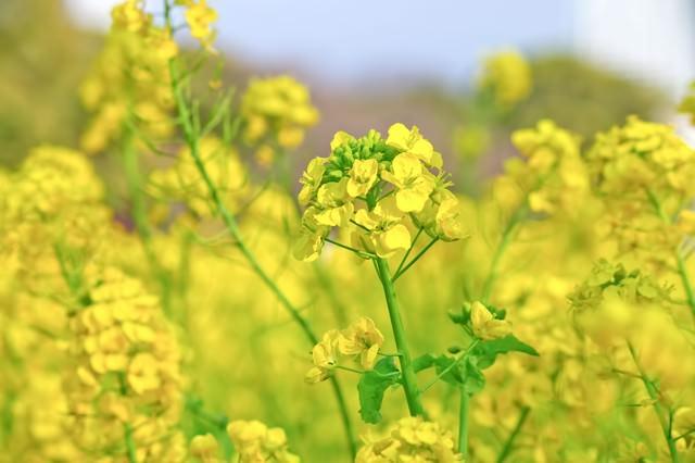 風に揺れる菜の花畑の写真