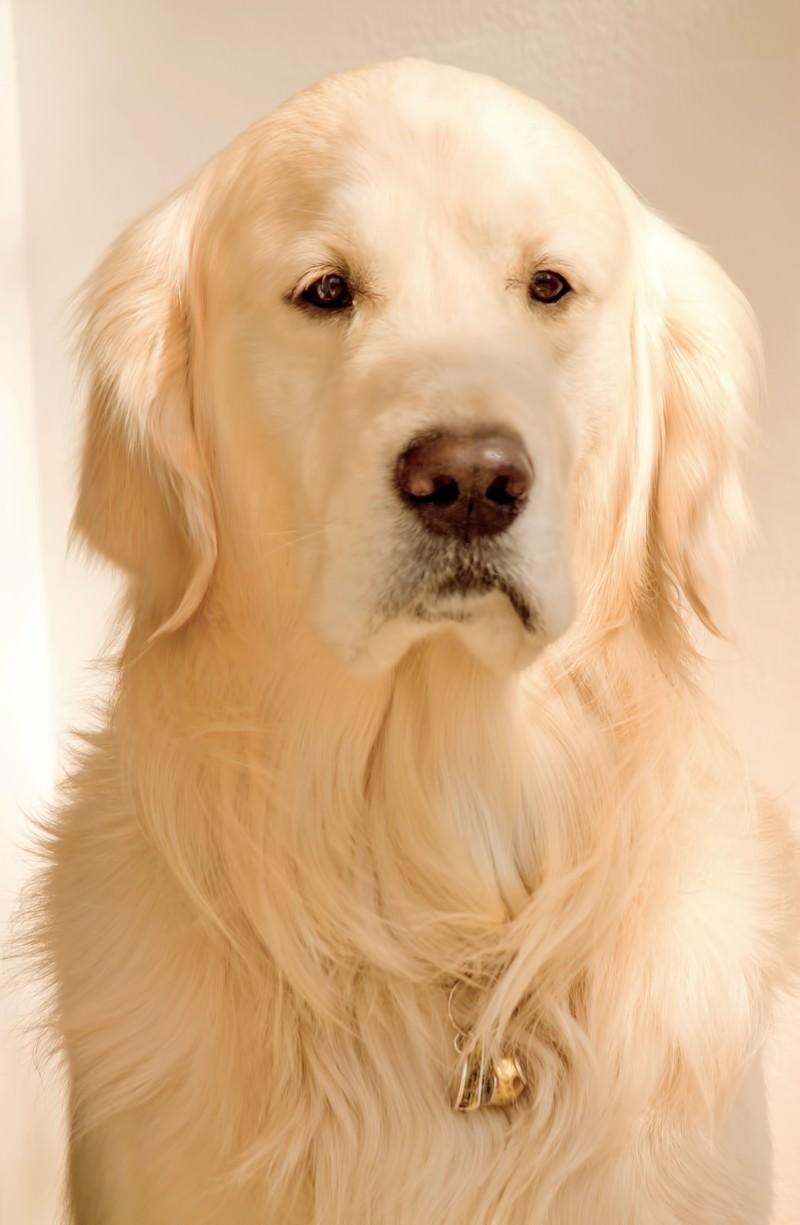 「毛並みの良いレトリバー | 写真の無料素材・フリー素材 - ぱくたそ」の写真
