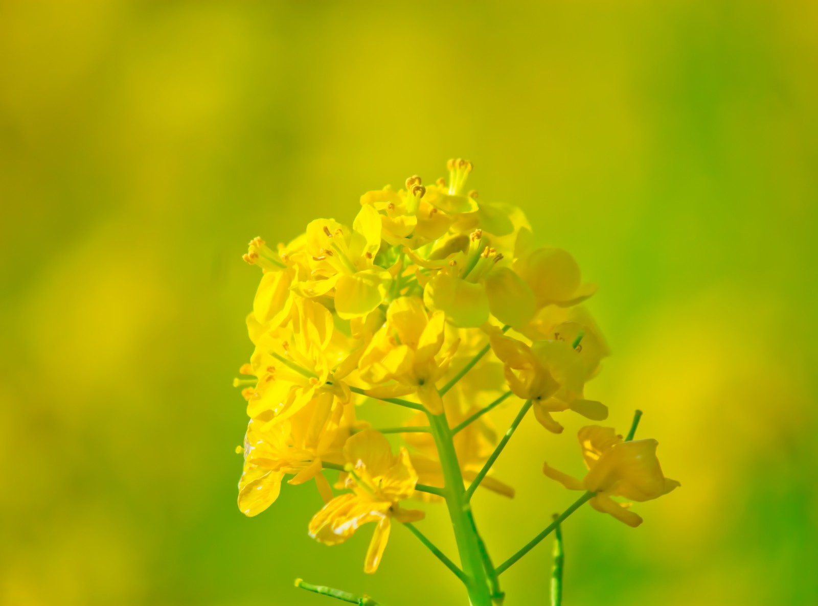 「黄色い菜の花」の写真