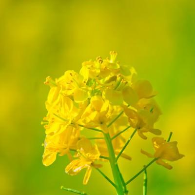 「黄色い菜の花」の写真素材