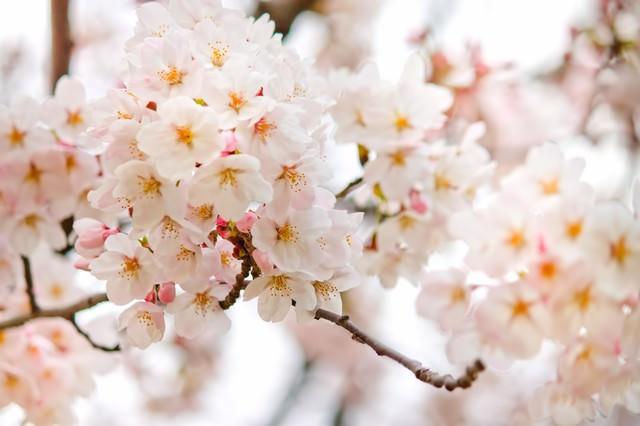 満開に近づく桜の花の写真