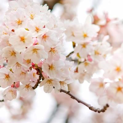 「満開に近づく桜の花」の写真素材