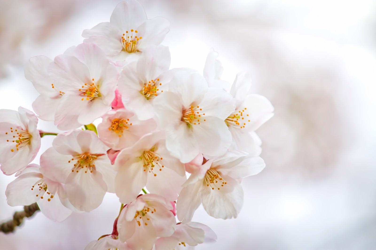 「白い花びらと満開の桜」の写真