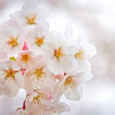 「白い花びらと満開の桜」の写真素材