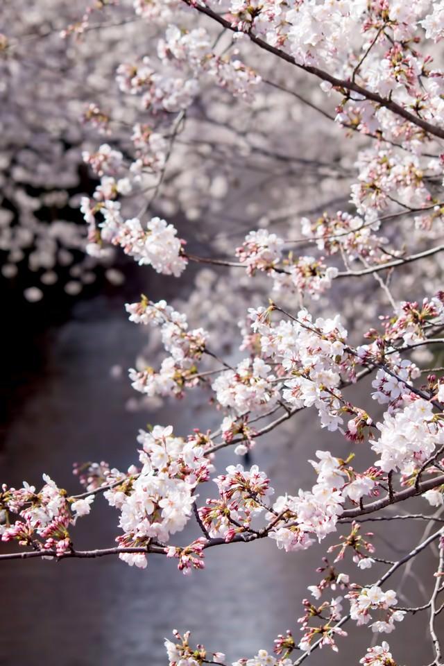 目黒川の桜並木の写真