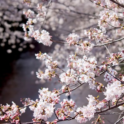 「目黒川の桜並木」の写真素材