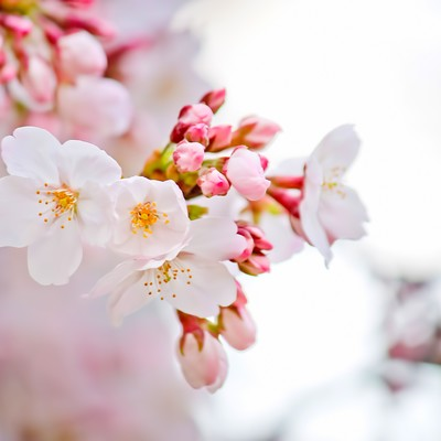 「咲き始めた桜」の写真素材