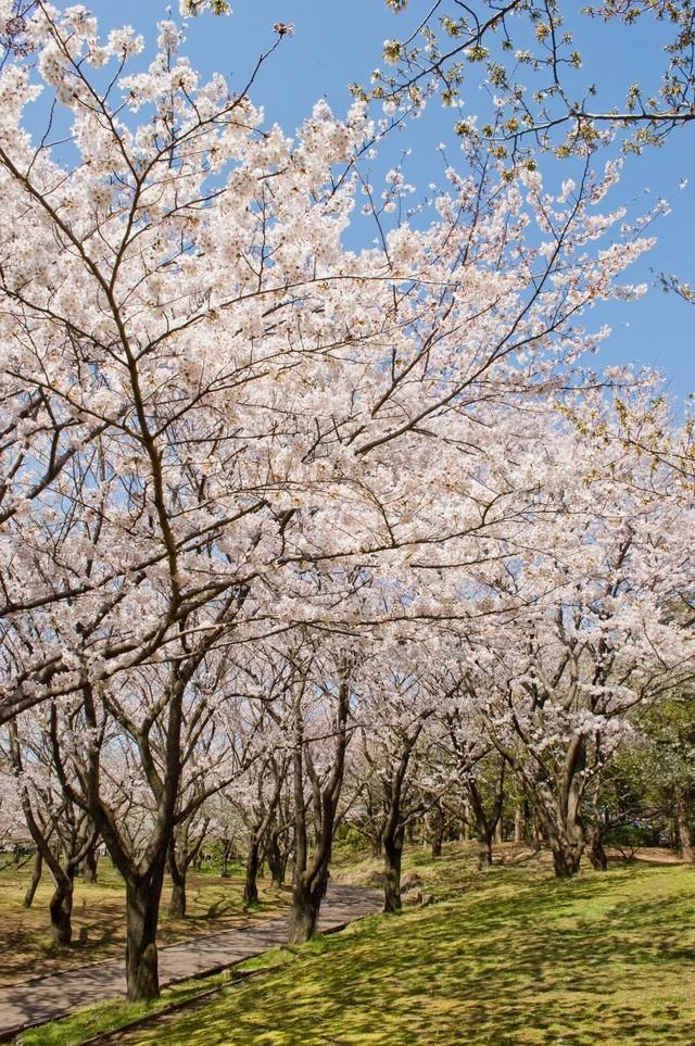 桜の道の写真