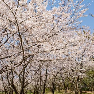 「桜の道」の写真素材