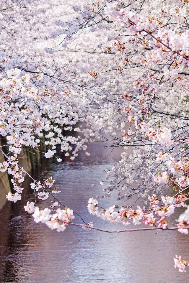 左右が満開の桜の写真