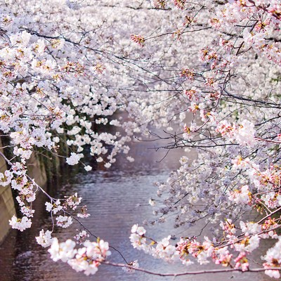 「左右が満開の桜」の写真素材