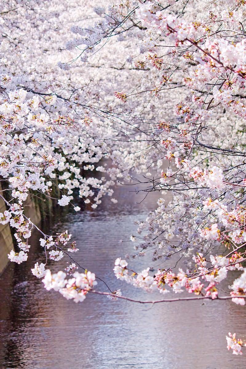 「左右が満開の桜」の写真