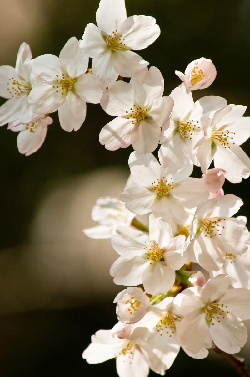「ソメイヨシノ(桜)ソメイヨシノ(桜)」のフリー写真素材を拡大