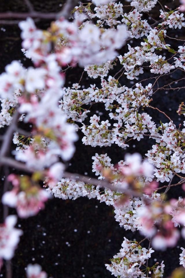 水面に散る花びらと桜の写真
