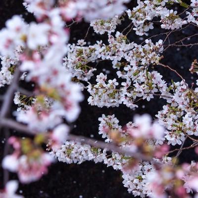 「水面に散る花びらと桜」の写真素材