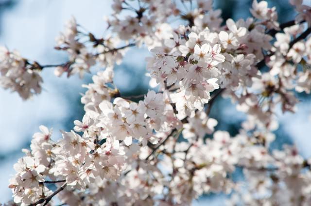 和の色(桜)の写真