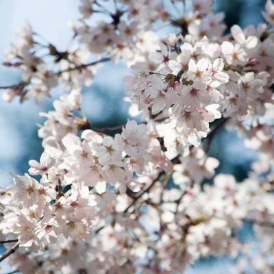 「和の色(桜)」の写真素材
