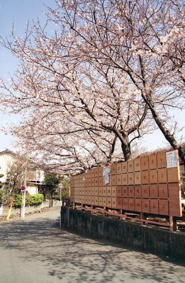 街角に咲く桜と選挙ポスター掲示板の写真