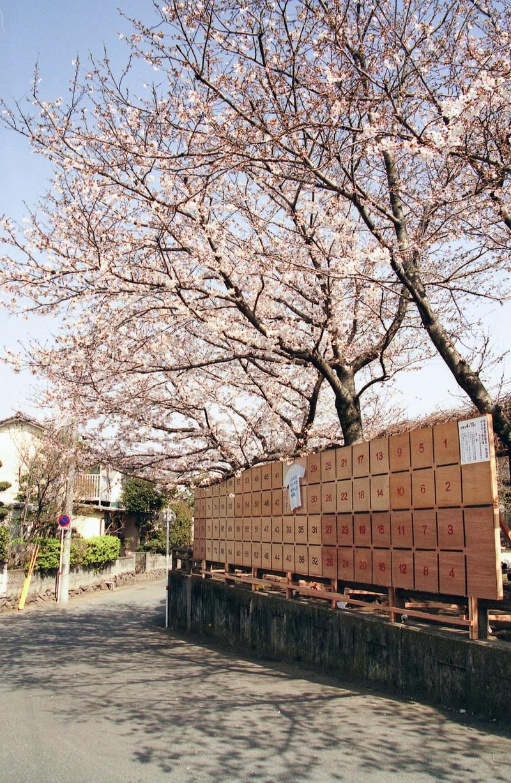 「街角に咲く桜と選挙ポスター掲示板」の写真