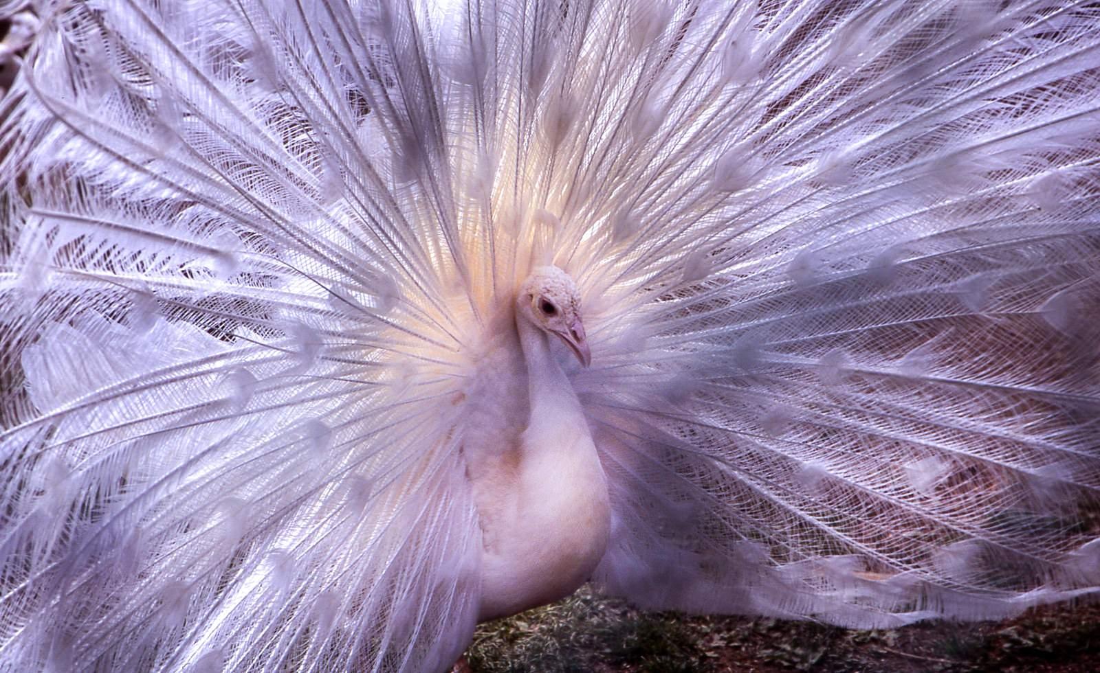 「孔雀の求愛ポーズ(バッサー)」の写真