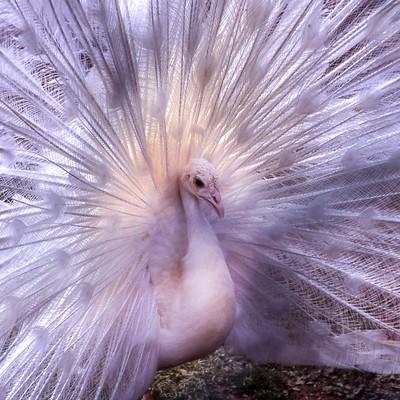 孔雀の求愛ポーズ(バッサー)の写真