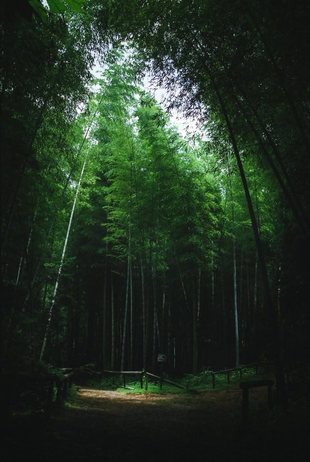 竹林の分かれ道の写真