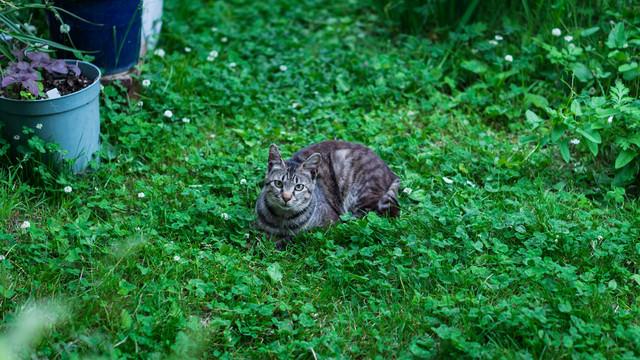 庭のシロツメクサと猫の写真