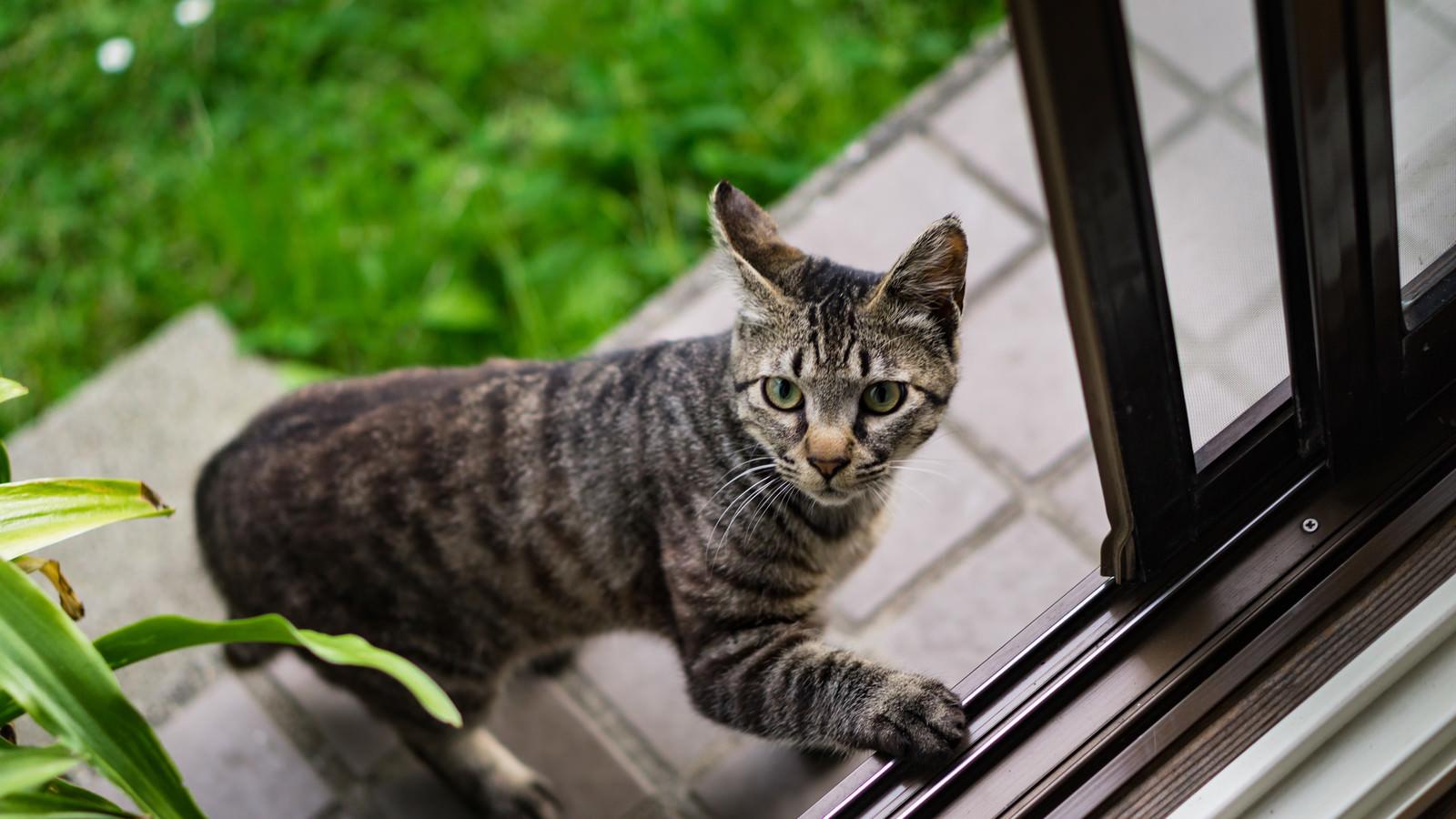 「恐る恐る家の中に入ろうとする猫」の写真
