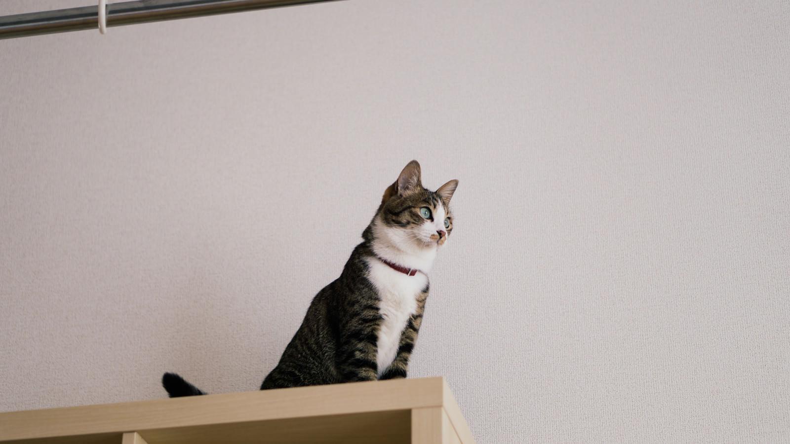 「棚の上から見つめる青い瞳の猫」