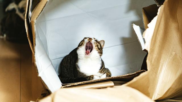 空き箱の中で大あくびする猫の写真