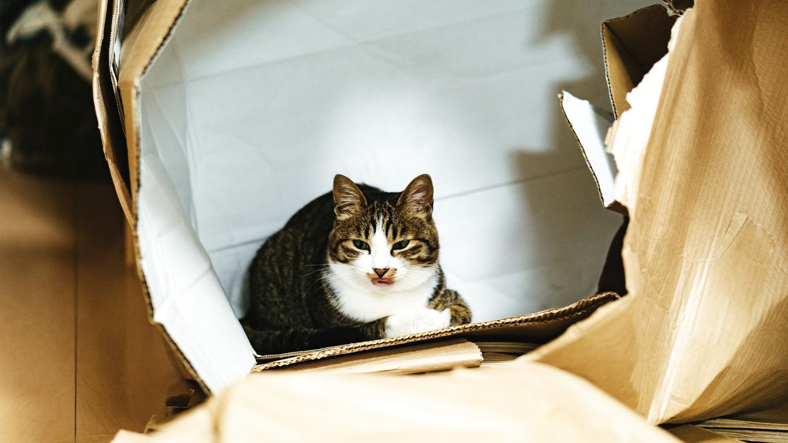 「破かれたダンボールの中で落ち着いた表情を見せる猫」の写真