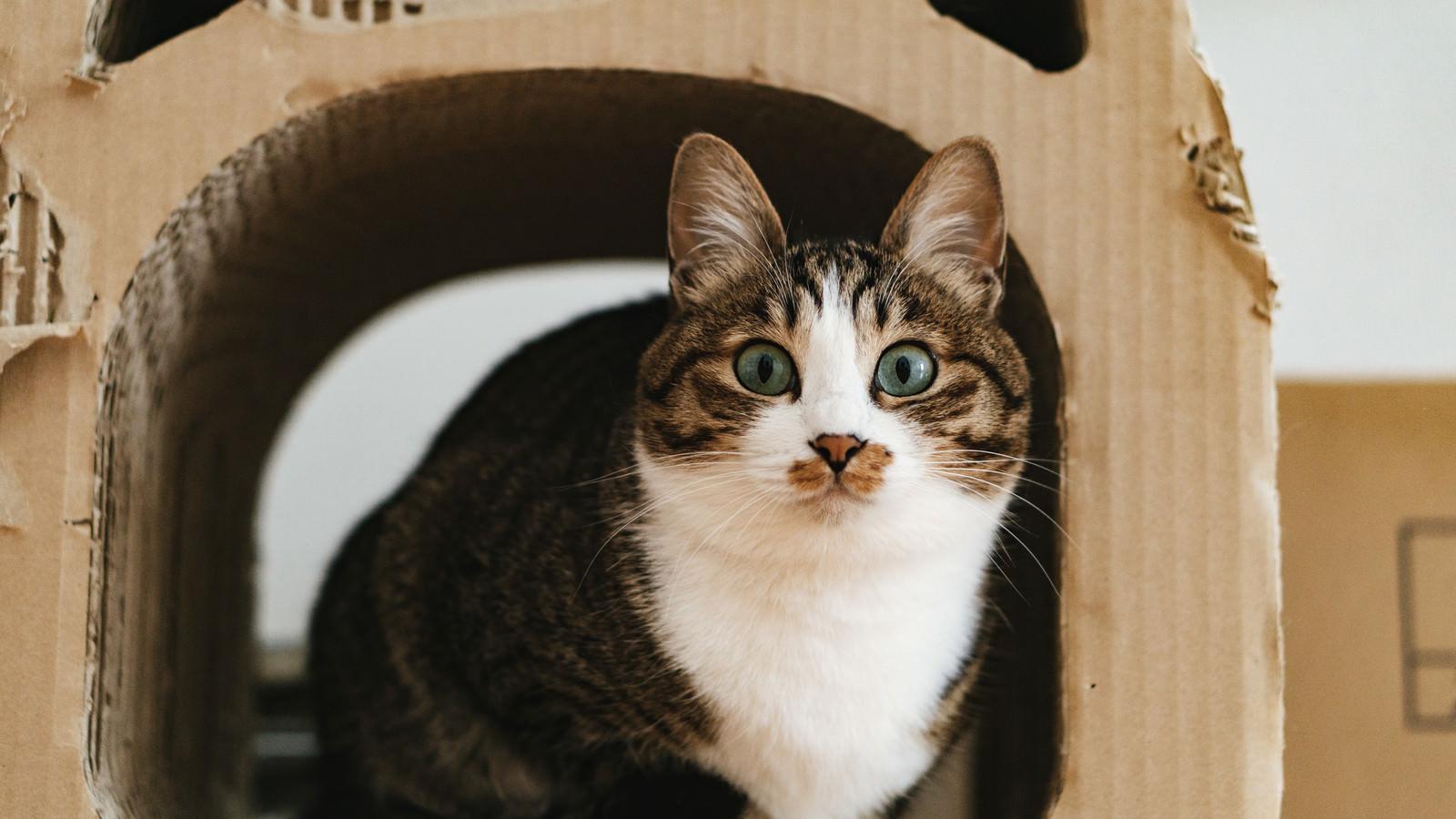 「ダンボールハウスの中で目を丸くする猫」の写真