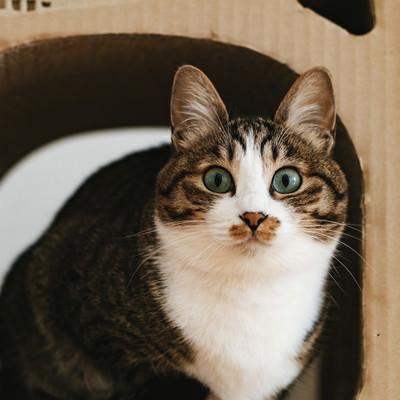 ダンボールハウスの中で目を丸くする猫の写真