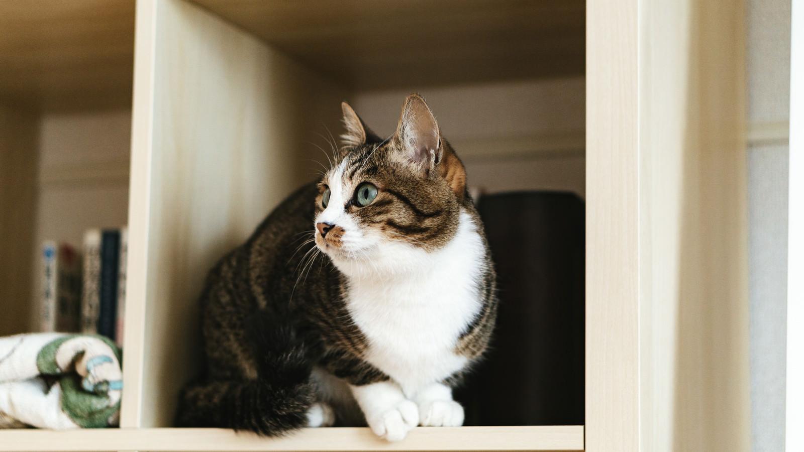 「本棚の猫」の写真