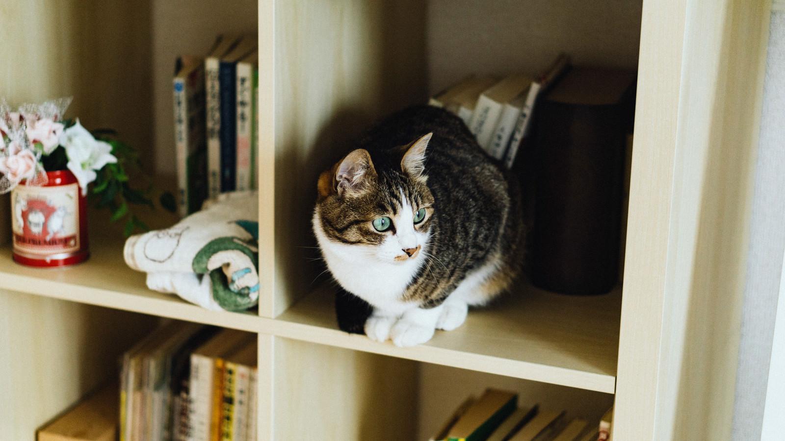 「本棚猫」の写真