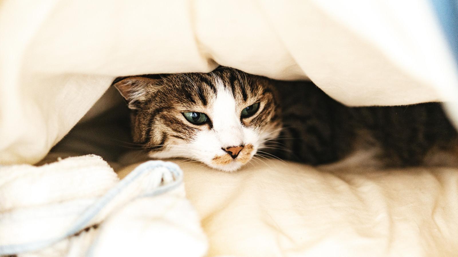 「ぐっすり寝ていたところを起こされて不機嫌な猫さん」の写真