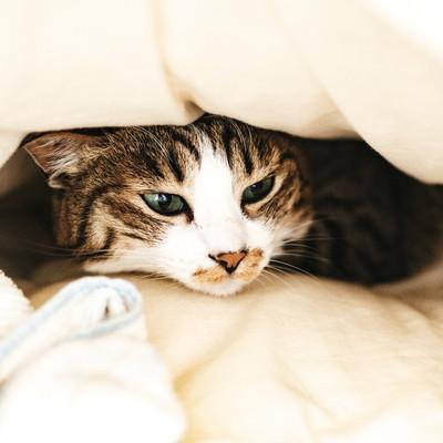 ぐっすり寝ていたところを起こされて不機嫌な猫さんの写真