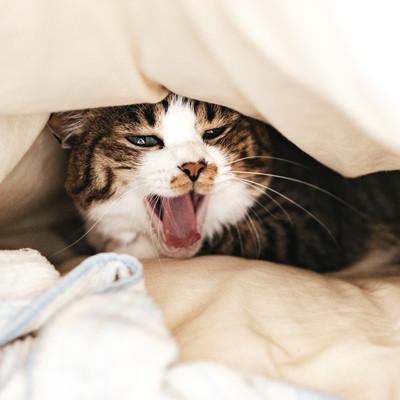 お布団の中であくびする寝起き猫の写真
