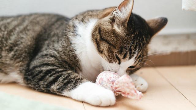 フローリングの上でおもちゃと戯れる猫の写真