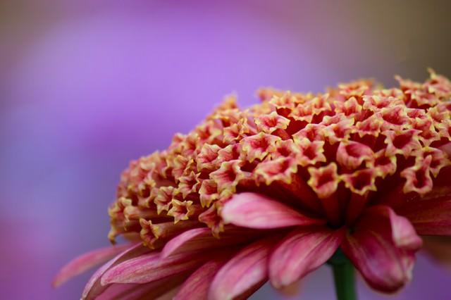 大丁菊の花の写真