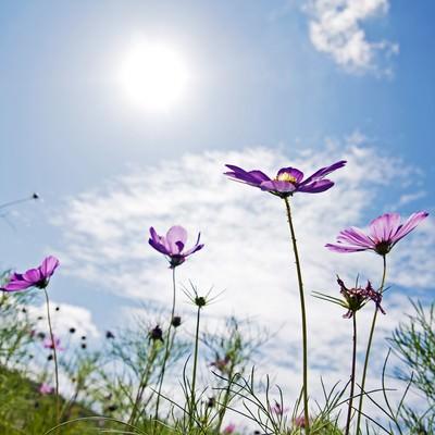 「コスモスと太陽」の写真素材