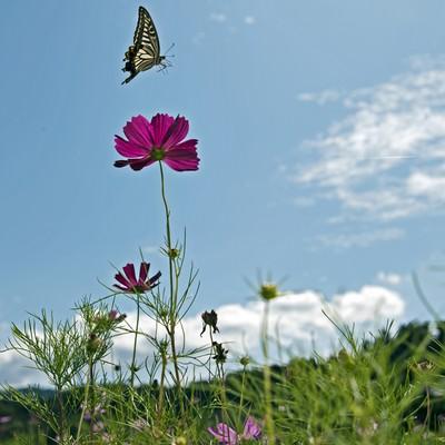 コスモスとアゲハ蝶の写真