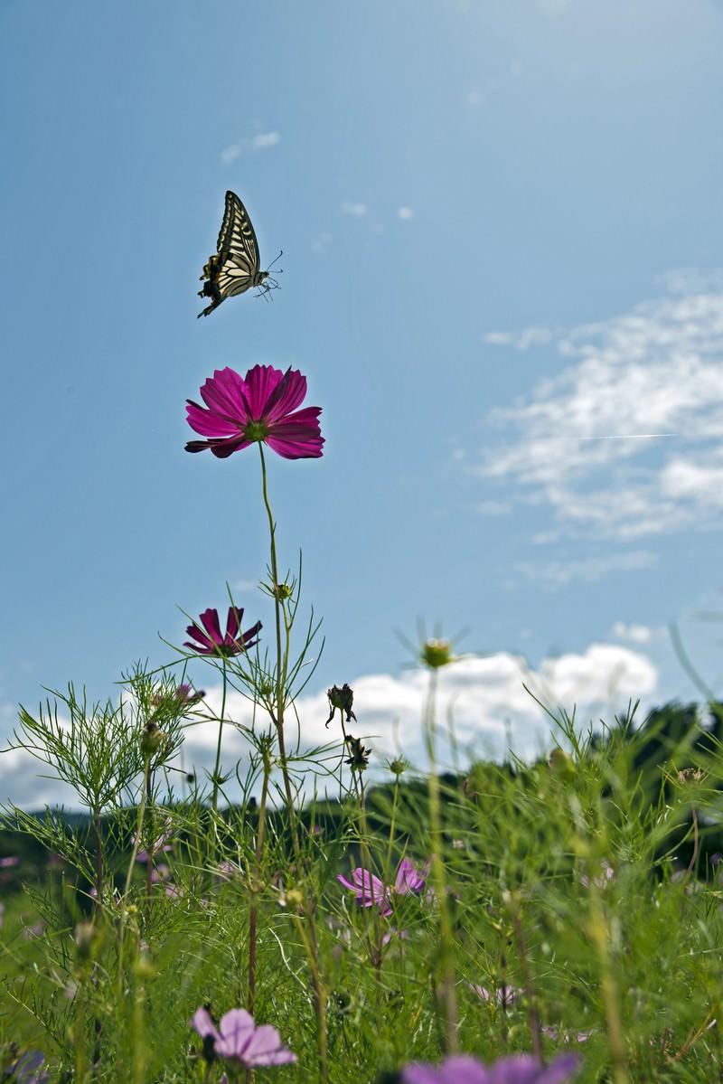 「コスモスとアゲハ蝶」の写真