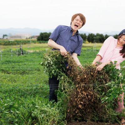 「夫婦で力を合わせて落花生を収穫」の写真素材