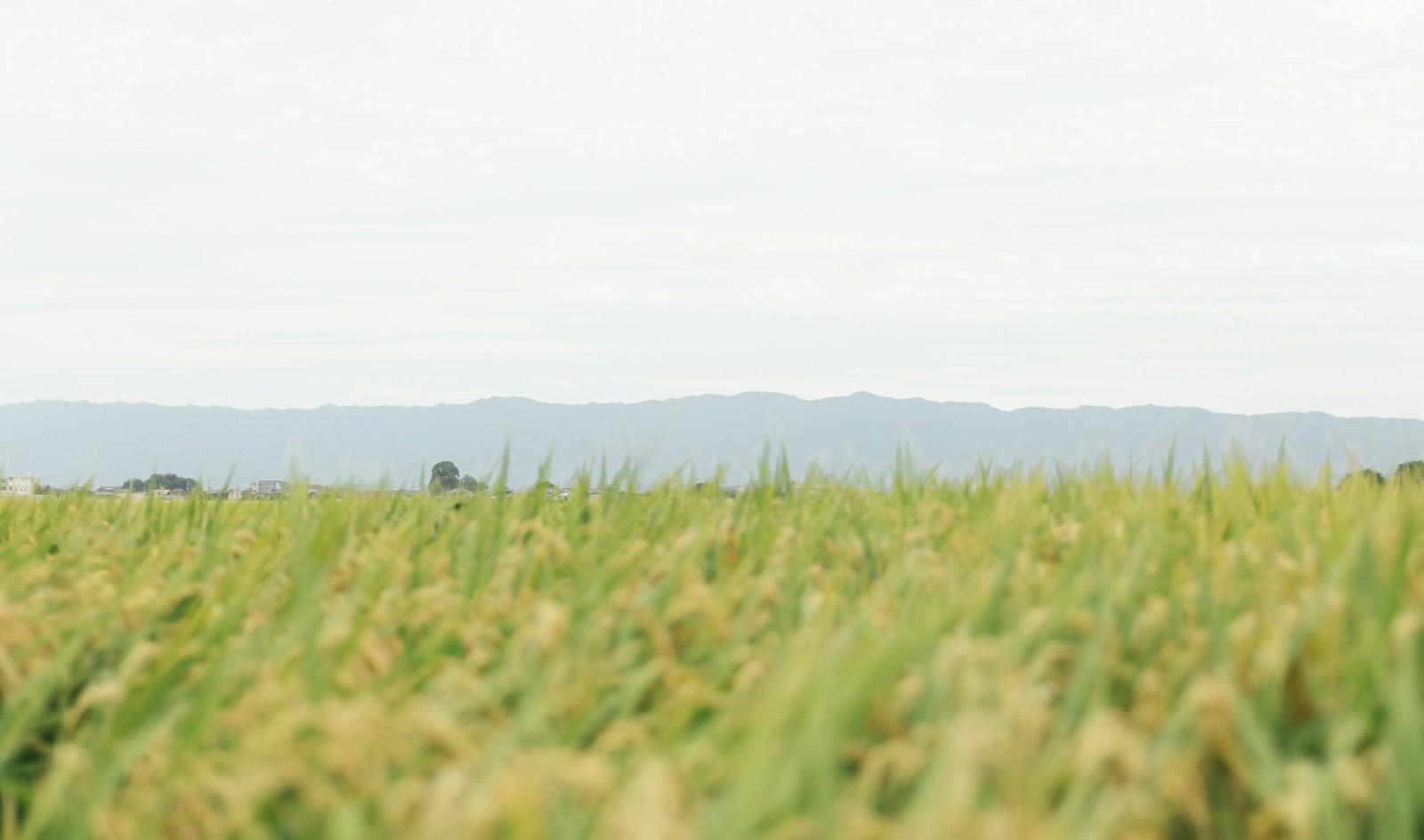 「稲穂が揺れる」の写真