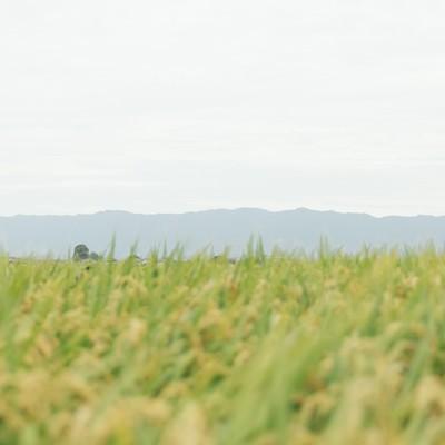「稲穂が揺れる」の写真素材