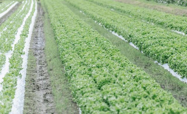 リーフレタス畑の写真