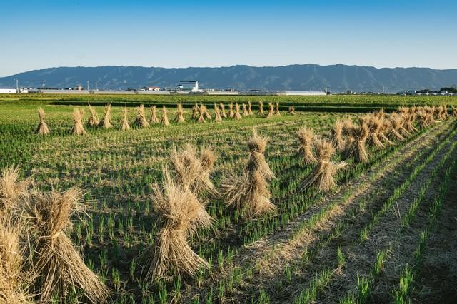 刈り終えた畑の写真